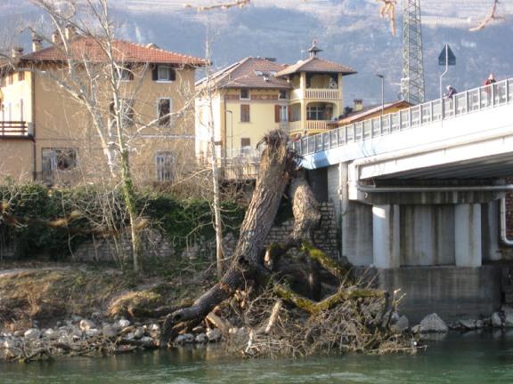 Rovereto 12.3.2015 il platano caduto f.p.g.c. Roberta -Ammiraglia88 a www.lavocedelmarinaio.com